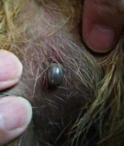 Fully engorged tick